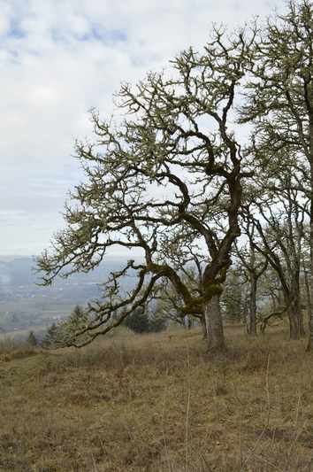 An oak tree and a view from the top of Mount Pisgah