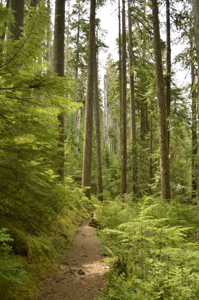 The Opal Creek hiking trail has many large old growth trees