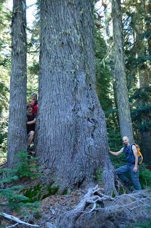 Old growth tree along the High Divide trail