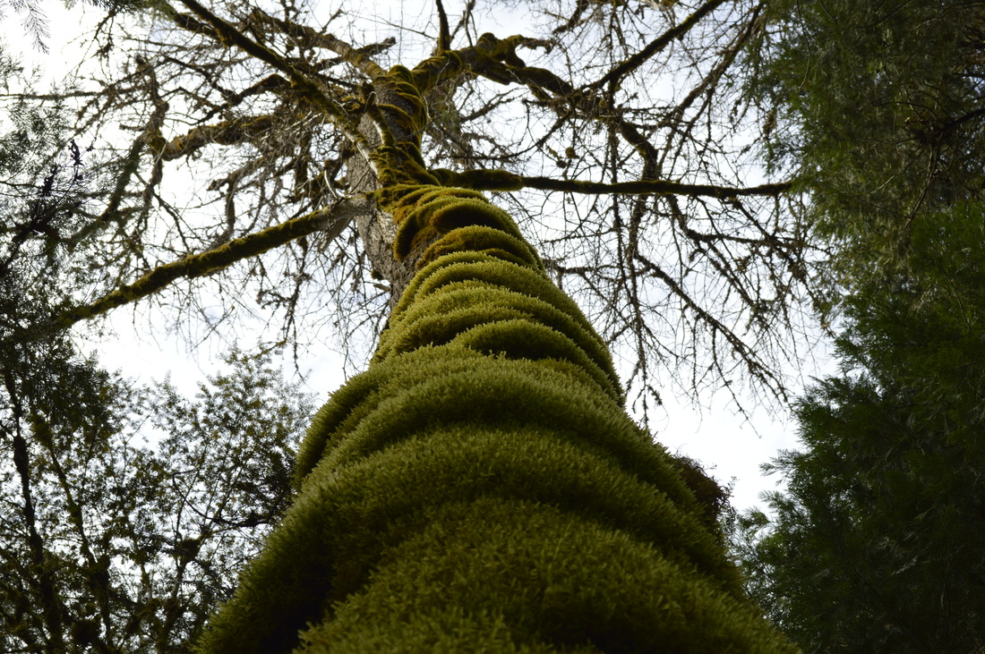 A moss covered tree along the Salmon Creek trail
