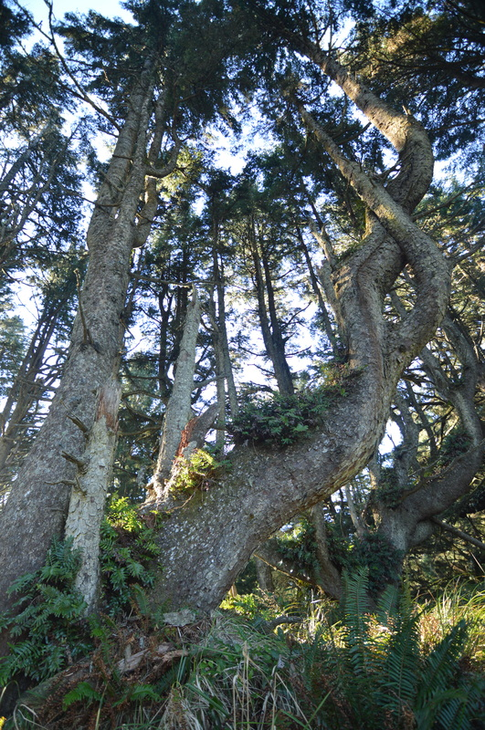 Old trees along the Heceta Head trail