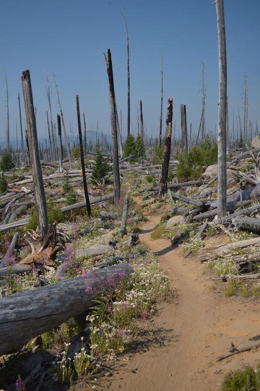 Burn section along the Waldo Lake Loop Trail