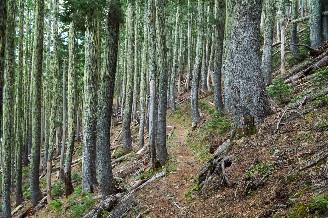 Thick forest along the Iron Mountain loop