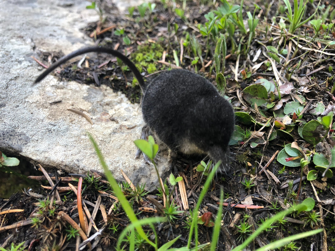 Water shrew at Tumalo Falls
